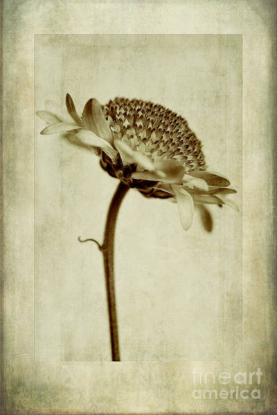 In Focus Wall Art - Photograph - Chrysanthemum In Sepia by John Edwards