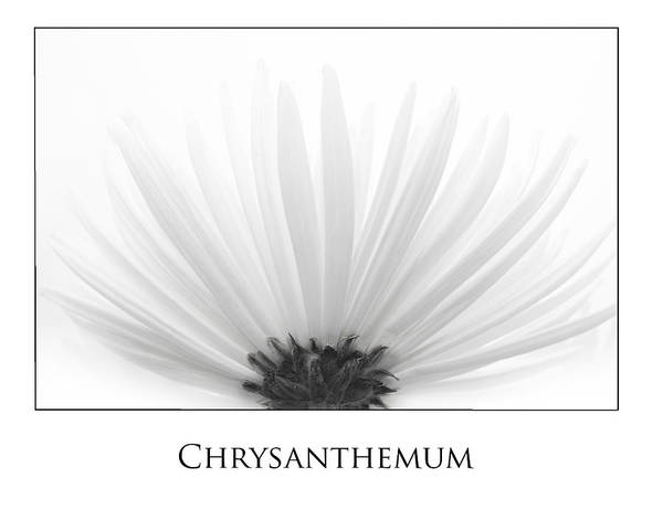 Photograph - Chrysanthemum by Kim Aston