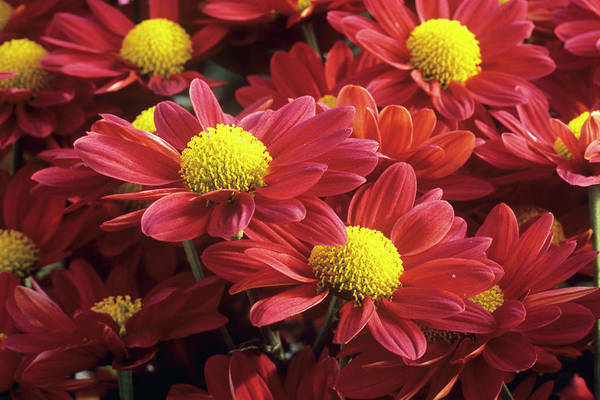 Glasshouse Photograph - Chrysanthemum 'klondike' by Anthony Cooper/science Photo Library