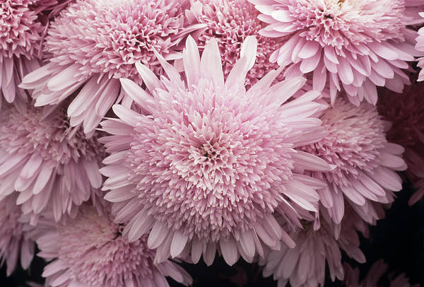 Glasshouse Photograph - Chrysanthemum 'lilac Eleonora' by Anthony Cooper/science Photo Library