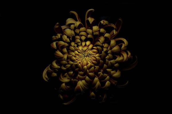 Low Key Photograph - Chrysanthemum by Lotte Gr??nkj??r