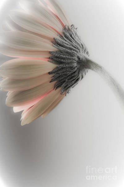 Photograph - Chrysanthemum Petals 1 by Jo Ann Tomaselli
