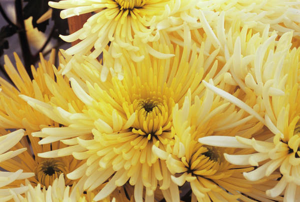 Glasshouse Photograph - Chrysanthemum 'sheena' by Anthony Cooper/science Photo Library