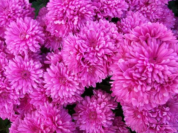 Painting - Chrysanthemums by Sharon Duguay