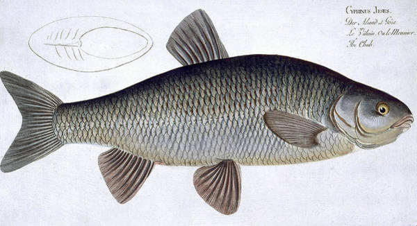 Angler Wall Art - Painting - Chub by Andreas Ludwig Kruger