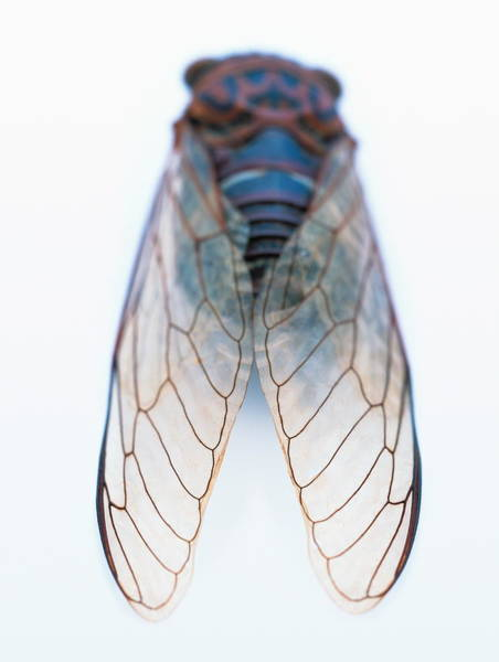 Cicada Wall Art - Photograph - Cicada by Gustoimages/science Photo Library