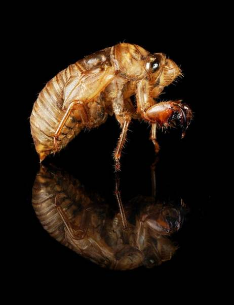 Molting Wall Art - Photograph - Cicada by Jim Hughes