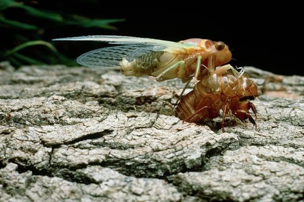 Metamorphosis Photograph - Cicada Metamorphosis by Keith Kent/science Photo Library