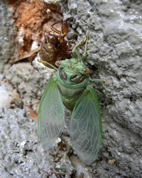 Photograph - Cicada On The Wall by MM Anderson
