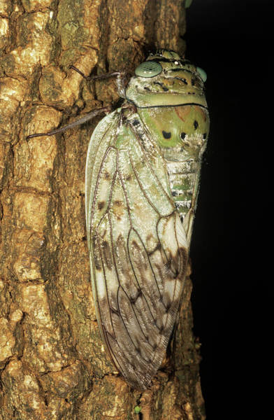 Cicada Wall Art - Photograph - Cicada by Sinclair Stammers/science Photo Library