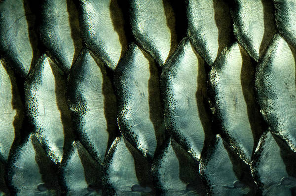 Fish Scales Photograph - Cigar Barb Fish Scales Abstract by Nigel Downer