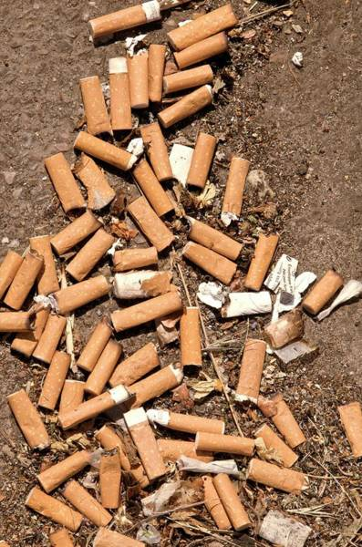 Butt Photograph - Cigarette Butt Litter by Lea Paterson/science Photo Library