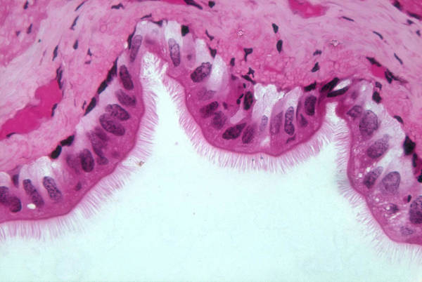 Wall Art - Photograph - Ciliated Epithelium, Lm by Michael Abbey
