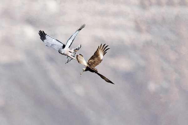Harrier Photograph - Cinereous Harrier Attacking Southern Crested Caracara by Dr P. Marazzi/science Photo Library