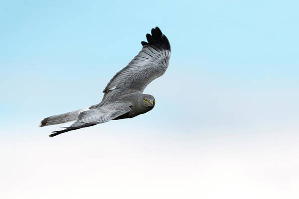 Wall Art - Photograph - Cinereous Harrier by Dr P. Marazzi/science Photo Library