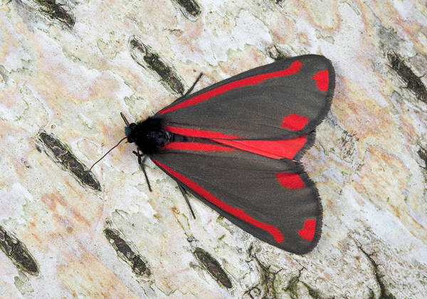 Introduced Species Photograph - Cinnabar Moth by Nigel Downer