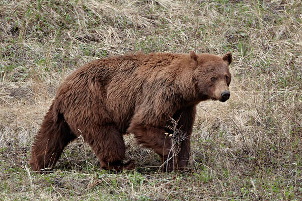 James Brown Photograph - Cinnamon-colored Black Bear Ursus by James Hager / Robertharding