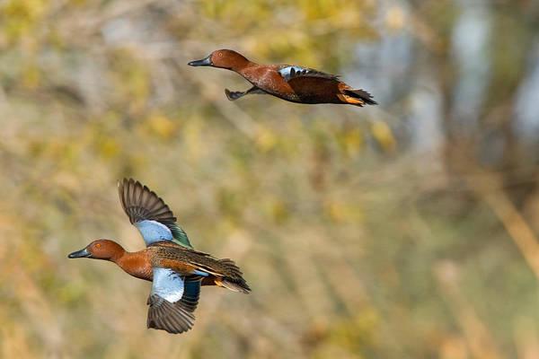Cinnamon Teal Pair In Flight Art Print by Craig K. Lorenz