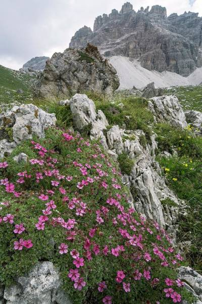 Cinquefoil Photograph - Cinquefoil (potentilla Nitida) In Flower On Mountainside by Bob Gibbons/science Photo Library