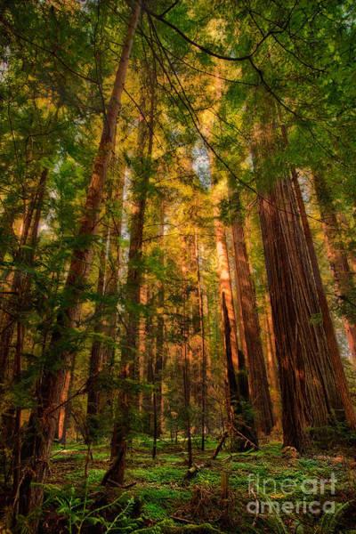 Circle Of Light - California Redwoods Art Print