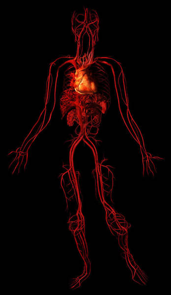 Wall Art - Photograph - Circulatory System by Anatomical Travelogue
