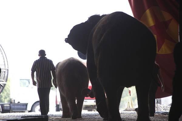 Photograph - Circus Elephants by Karen Saunders