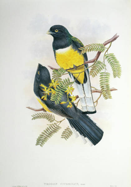Trogon Photograph - Citreoline Trogon by Natural History Museum, London/science Photo Library