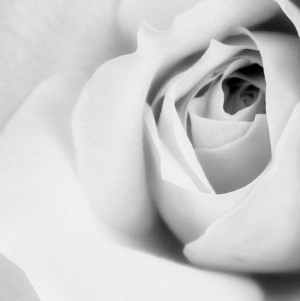 Desert Rose Photograph - Citrine Rose Bw Palm Springs by William Dey