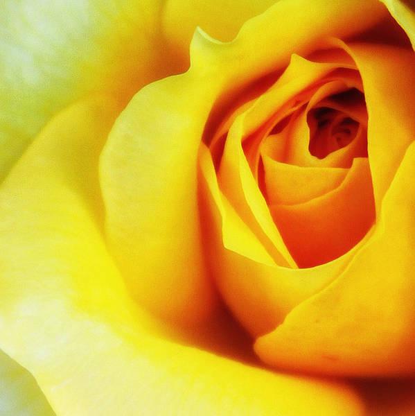 Desert Rose Photograph - Citrine Rose Palm Springs by William Dey