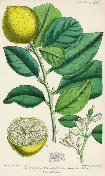Wall Art - Photograph - Citron by Natural History Museum, London/science Photo Library
