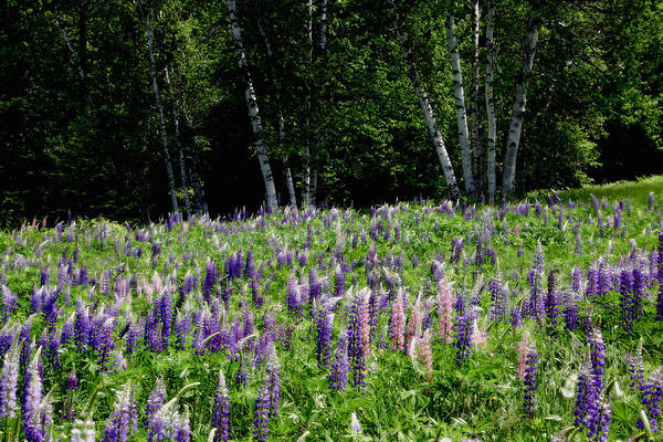 Photograph - City Of Lupines by Wayne King