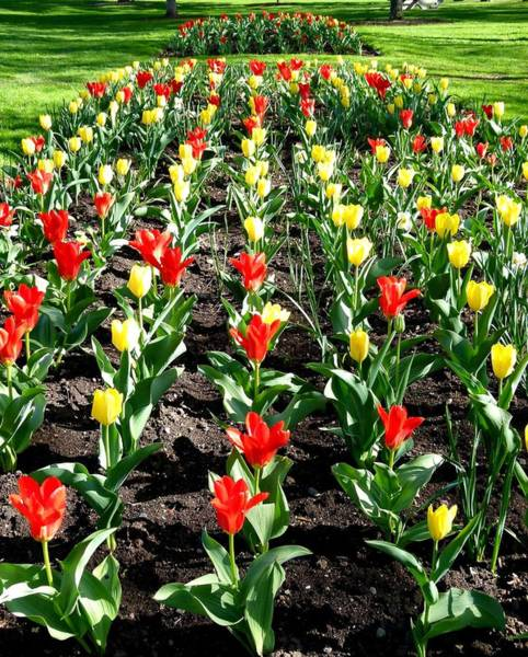 Wall Art - Photograph - City Of Vernon Tulips by Will Borden
