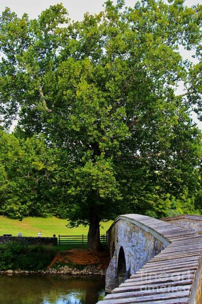 Photograph - Civil War Era Eastern Sycamore Tree by Patti Whitten