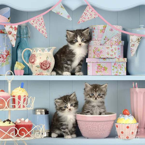 Bunting Photograph - Baking Shelf Kittens by MGL Meiklejohn Graphics Licensing