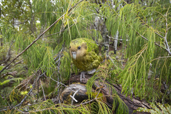 Critically Endangered Wall Art - Photograph - Ckakapo Male In Forest Codfish Island by Tui De Roy