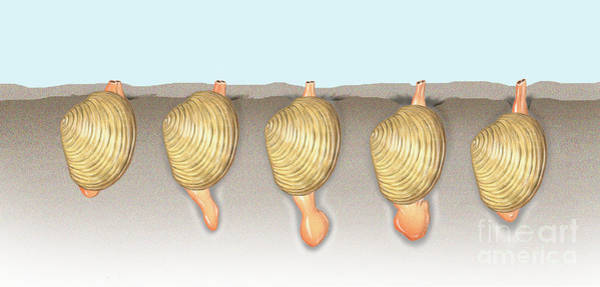 Photograph - Clam Locomotion by Carlyn Iverson