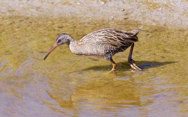 Central Texas Photograph - Clapper Rail (rallus Crepitans) by Bob Gibbons/science Photo Library