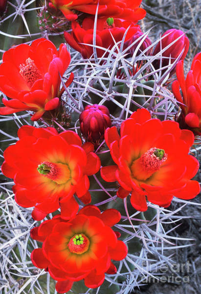 Photograph - Claretcup Cactus Blooms by Dave Welling