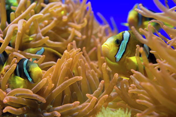 Snorkeling Photograph - Clarks Anemonfish - Amphiprion Clarkii by Cruphoto