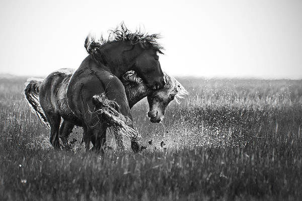 Photograph - Clash Of Two Wild Stallions by Bob Decker