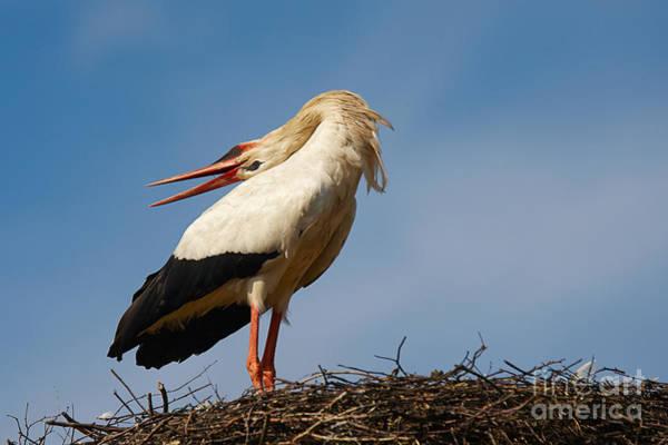 Photograph -  Bill-clattering Stork by Nick  Biemans