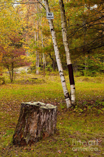 Photograph - Clearing With Birch Tree And Stump by Les Palenik