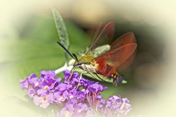 Hemaris Photograph - Clearwing Hawk Moth - Hemaris Thysbe by Mother Nature
