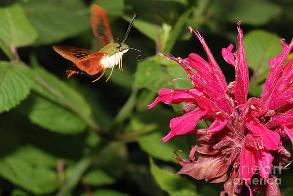 Hemaris Photograph - Clearwing Moth by John Kaprielian