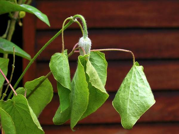 Wilt Photograph - Clematis Affected By Wilt by Ian Gowland
