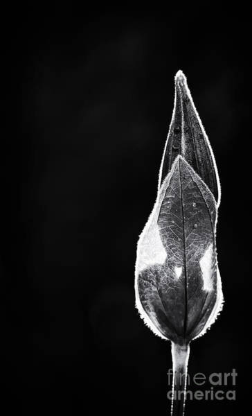 Clematis Wall Art - Photograph - Clematis Bud Monochrome by Tim Gainey