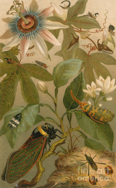 Photograph - Clematis Cicada And Beetles 1894 by NYPL Photo Researchers