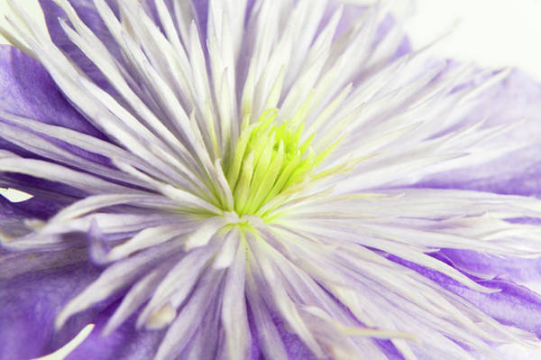 Climbing Vine Photograph - Clematis (clematis 'crystal Fountain') by Gustoimages/science Photo Library
