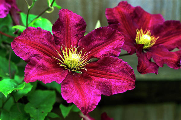 Climbing Plants Photograph - Clematis (clematis 'niobe') by Anthony Cooper/science Photo Library