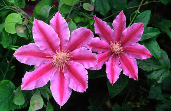 Climbing Plants Photograph - Clematis 'dr Ruppel' by Nigel Downer